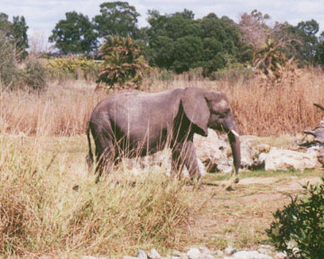 An elephant we saw on the Kilimanjaro Safari